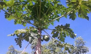 Aumentó la demanda de mamón y citronella en la feria franca