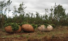 Yerba: productores amenazan con parar la cosecha