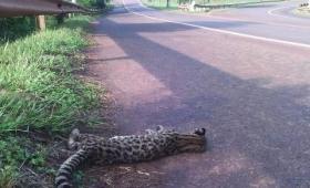 Atropellan y matan un tirica en Iguazú
