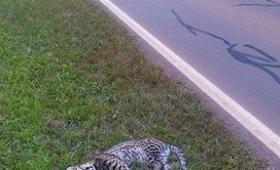 Otro tirica muerto en ruta 12