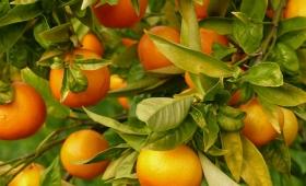 Había un agrotóxico prohibido en el cuerpo de la niña que murió al comer una mandarina
