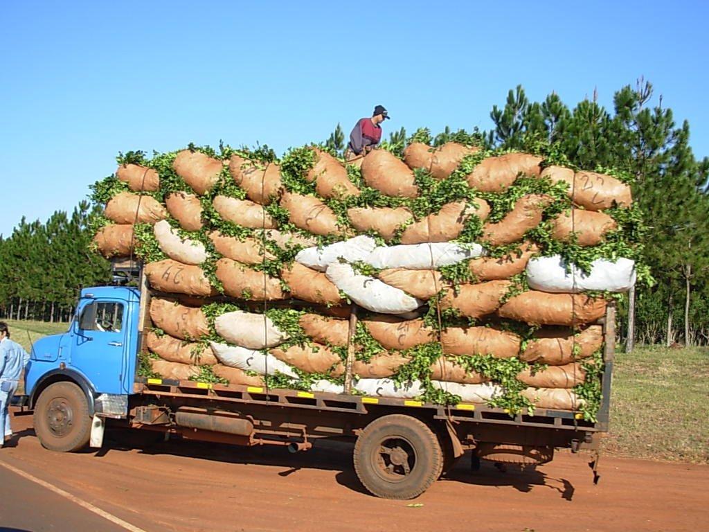 Circuito Yerba Mate : Yerba mate productores continúan en crisis misiones cuatro