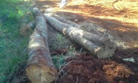 Recuperan ocho troncos de madera nativa