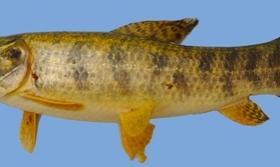 Científicos descubrieron una nueva especie de pez en Misiones
