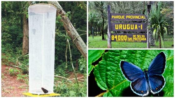 Atrapan a un japonés traficante de mariposas en la reserva Uruguaí