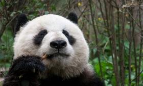 Mirá el video de los pandas aprendiendo a escalar