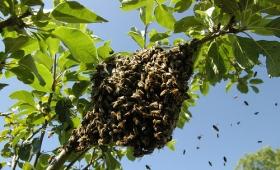 Encarnación: un hombre falleció tras ser atacado por abejas