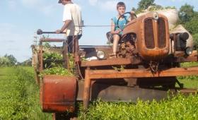 Fundidos, colonos tealeros analizan abandonar la chacra