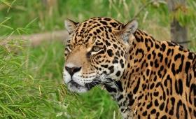 El Yaguareté resiste en el 3% de su hábitat