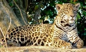 El rey de la selva de América, podría desaparecer de nuestro país