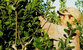 El gobierno nacional decidirá el precio de la yerba