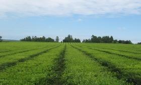 La producción de té está en armonía