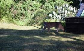 Liberaron en el monte al Puma capturado en Iguazú