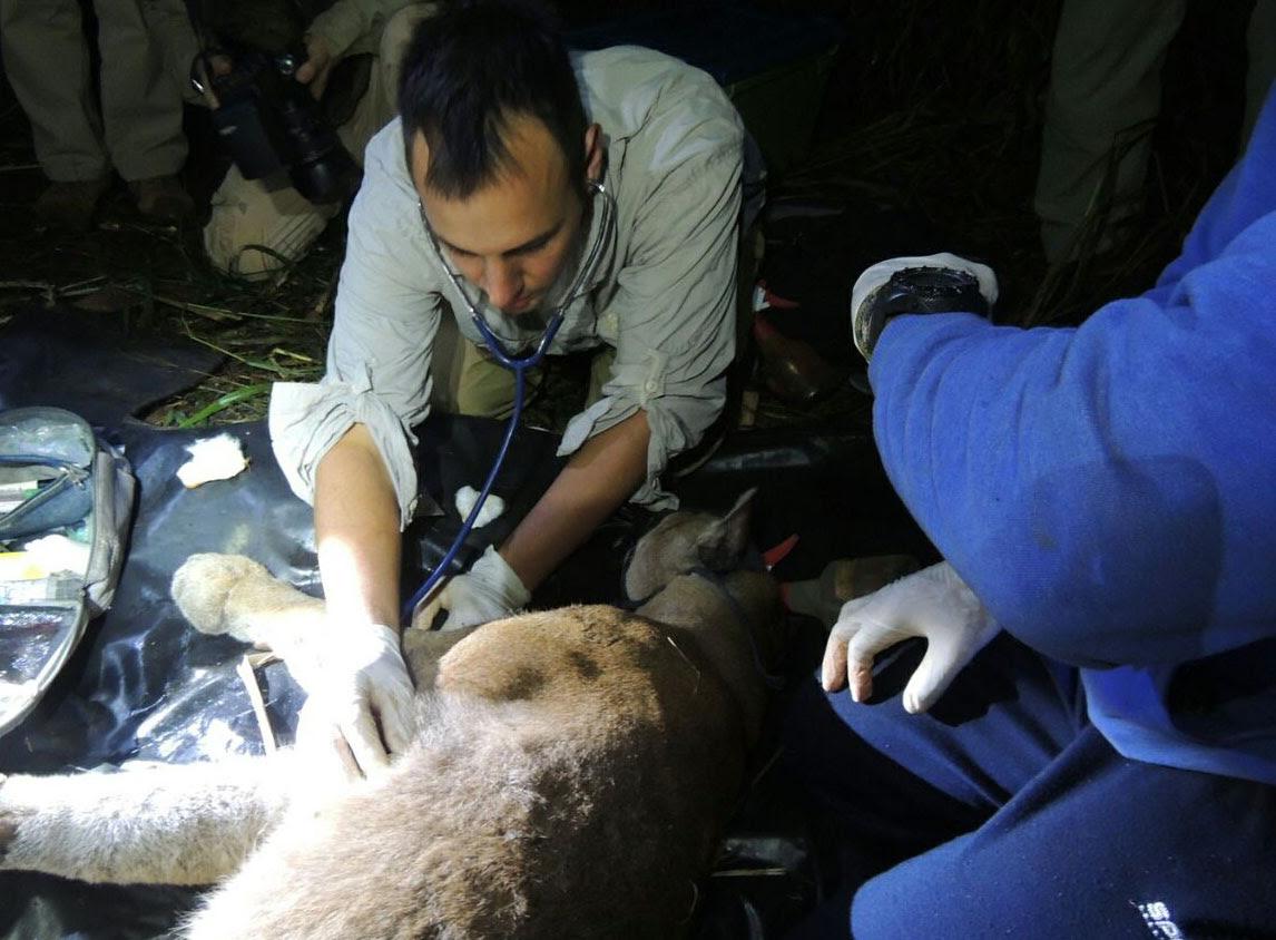 Capturaron al puma que merodeaba en el Parque Nacional Iguazú