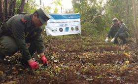 Descubren un narco vivero en San Ignacio