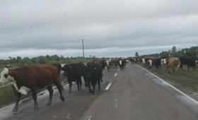 Corrientes: abren tranqueras para evitar mortandad de animales