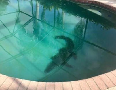 Video: una familia encontró un cocodrilo en su pileta