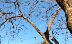 Vecinos piden poda de un árbol cuyas ramas pueden cortar cables en chacra 240