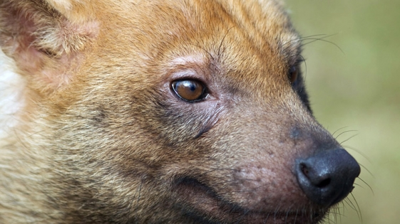 Un zorro pitoco fue fotografiado en Eldorado
