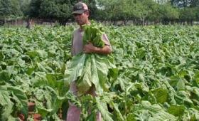 Exportan a China tabaco de Jujuy, Misiones, Salta y Tucumán