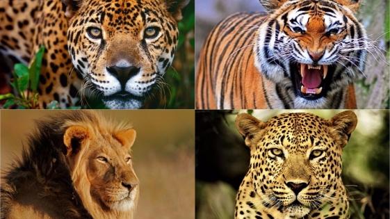 ¿Cuánto tienen en común el yaguareté, el tigre, el león y el leopardo?