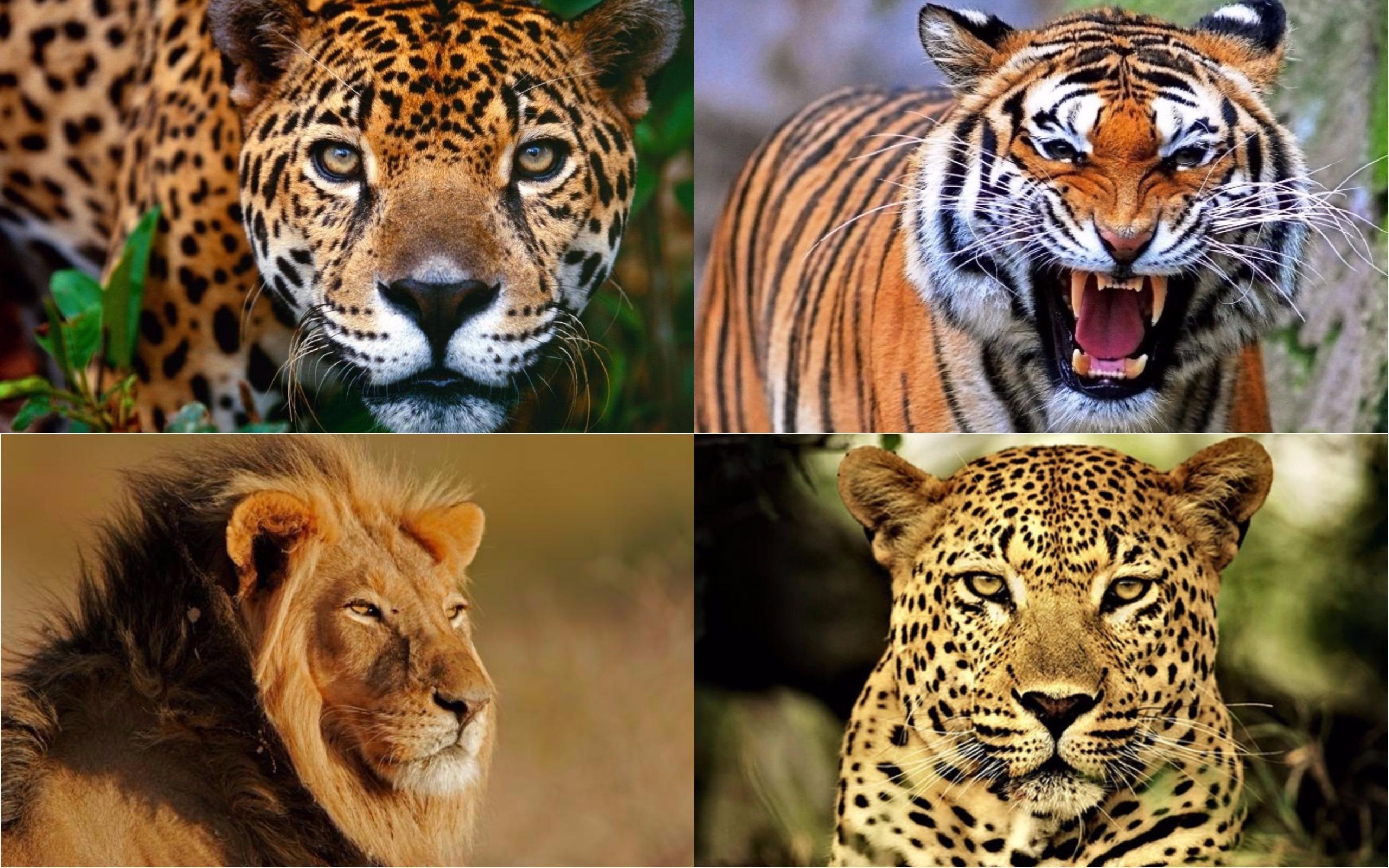cuánto tienen en común el yaguareté, el tigre, el león y el leopardo