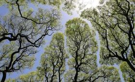 """El fascinante fenómeno botánico de la """"timidez entre árboles"""""""