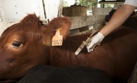 Vacunas antiaftosa: se necesitan más de 300 mil dosis