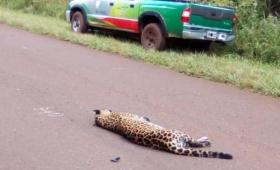 Atropellan y matan a un Yaguareté en el Parque Urugua-í