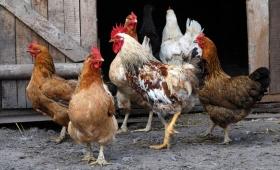 Conflicto vecinal por un gallinero en pleno barrio A4