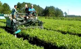 Finalizó la cosecha de té