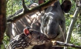 Nació el primer tapir en la Reserva de Iberá