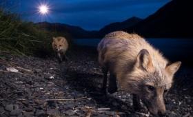 Los animales se están volviendo noctámbulos para evitar a los humanos