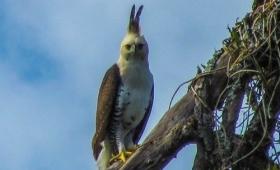 Papelón: Ecología se confundió de águila
