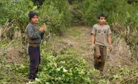 Todavía hay niños trabajando en los yerbales