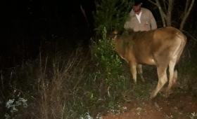 Recuperaron una vaca robada