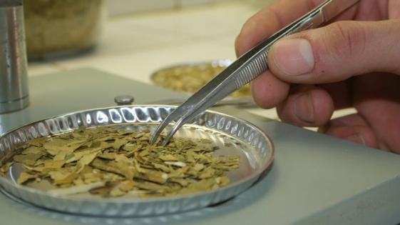 Científicas crearon producto antimicrobiano con yerba mate