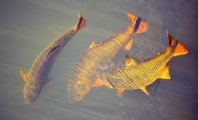 Bajante del río: en Chaco matan a palazos a los peces