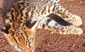 Santa Ana: atropellaron y mataron un gato onza