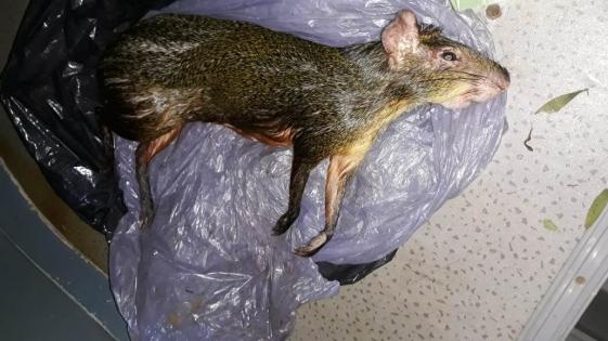 Cazadores mataron a un animal en peligro de extinción