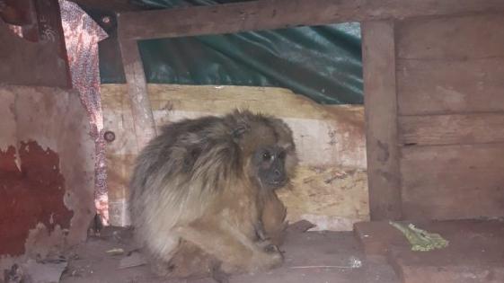 Resguardaron a un mono Carayá que sorprendió a una familia