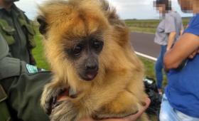 Rescatan de una mochila una cría de mono Carayá