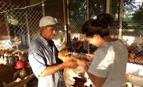 Impulsan la producción de pollos camperos