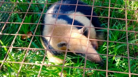 Rescatan un oso melero en peligro de extinción