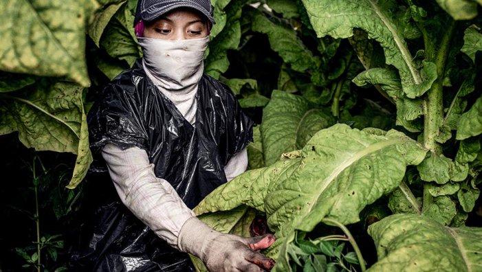 Resultado de imagen para trabajo infantil en tabacaleras