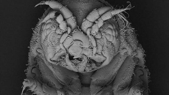Este crustáceo podría tener la clave para desarrollar biocombustibles de madera