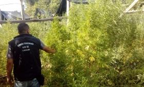 Andrade: descubren enorme plantación de marihuana en chacra