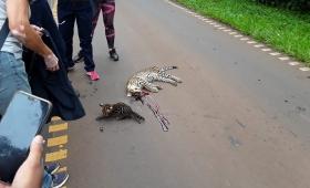 Iguazú: Un ocelote y su cría fueron atropellados