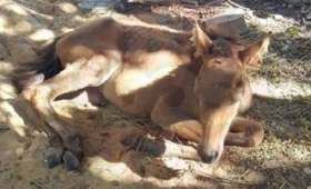 Corrientes: rescataron una yegua que habría sido violada por un carrero
