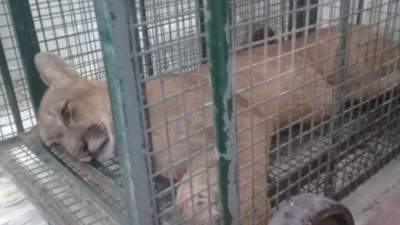Corrientes: rescataron al puma que cruzó a nado el Paraná